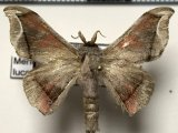 Menevia lucara (Schaus, 1905)  mâle