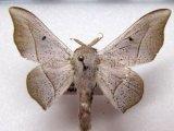 Mimallonidae sp 02