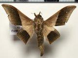 Psychocampa kohlli mâle   Herbin, 2012