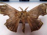 Trogoptera  sp