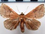 SP 205    (Limacodidae ?)