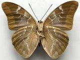 Mesoprepona pheridamas mâle   (Cramer, 1777)