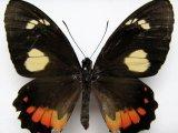 Parides childrenae latifasciata  femelle