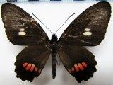 Parides erithalion palmasensis  femelle