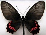 Parides lysander brissonius femelle