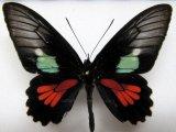 Parides neophilus consus  Male
