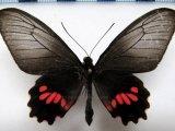 Parides neophilus napoensis femelle