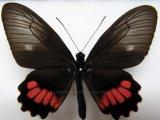 Parides neophilus olivencius  femelle