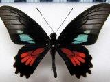Parides neophilus olivencius  Male