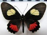 Parides vertumnus autumnus  femelle