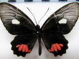 Parides vertumnus vertumnus    femelle  (Cramer, 1780)