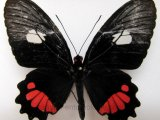 Parides erithalion inini femelle