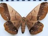 Arsenura albopicta  femelle   Jordan, 1922