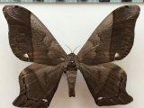 Arsenura albopicta  mâle  Jordan, 1922
