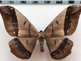 Arsenura archianassa femelle  Draudt, 1930