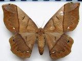 Arsenura armida armida  femelle  (Cramer, 1779)