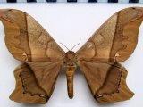 Arsenura armida armida  Male (Cramer, 1779)
