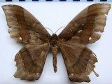 Arsenura batesii batesii  mâle