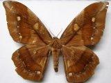 Arsenura ponderosa guianensis Rothschild, 1907 femelle