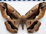 Arsenura sylla sylla  femelle   Cramer, 1779