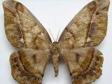 Arsenura thomsoni  femelle  (Schaus, 1906)