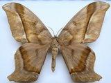 Arsenura thomsoni  male  (Schaus, 1906)