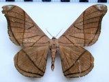 Grammopelta lineata  (Schaus, 1906) mâle