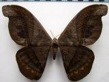 Rhescyntis hermes  femelle Rothschild, 1907