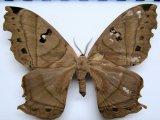 Titaea lemoulti  femelle   Schaus, 1905