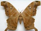 Titaea tamerlan amazonensis  mâle  Lemaire, 1980