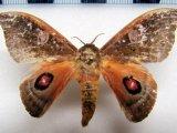 Automerina beneluzi  mâle  Lemaire, 2002
