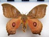 Automerina caudatula   mâle(R. Felder & Rogenhofer, 1874)