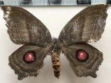 Automerina caudatula   femelle (R. Felder & Rogenhofer, 1874)
