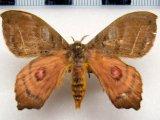 Automerina caudatula   mâle (R. Felder & Rogenhofer, 1874)
