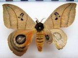 Automeris curvilinea  mâle  (Aberration) Schaus, 1906