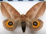 Automeris naranja  femelle
