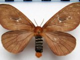 Cerodirphia apunctata  Dias & Lemaire, 1991, femelle
