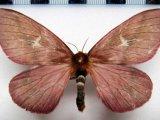 Cerodirphia brunnea interrupta  femelle Bouvier 1930