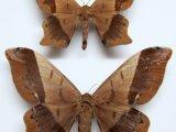 Arsenura albopicta