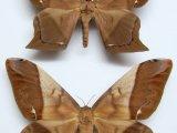 Arsenura beebei