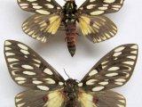 Citheronia vogleri
