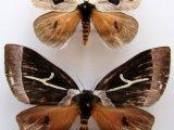 Dirphia tarquinia