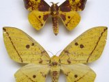 eacles imperialis cacicus