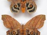 Hyperchyria nausica