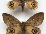 Leucanella asperus