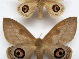 Leucanella viridescens viridior