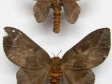 Ptilosola photophila