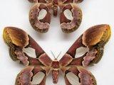 Rothschildia erycina