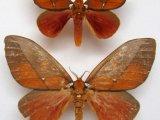 Schausiella polybia