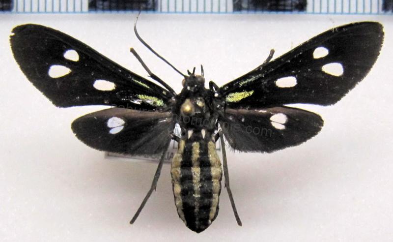 Calonotos aequimaculatus  male Zerny, 1931